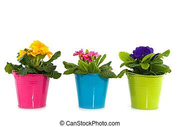 colorful primula in metal miniature buckets