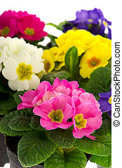 Many colorful Primulas for the garden isolated over white background
