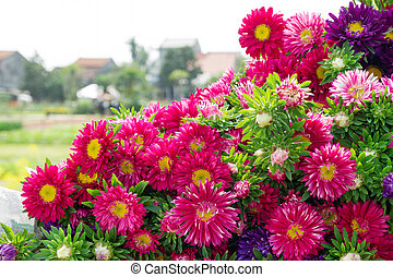 Colorful purple and pink chrysanthemums on a background with village view