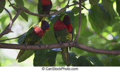 Colorful Rainbow Lorikeets on a Tree. UltraHD 4k footage