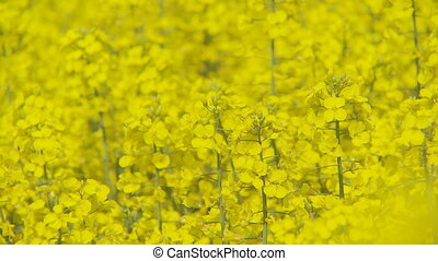 colorful rapefield closeup