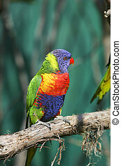 colorful red blue green bird - one small colorful lorikeet ...