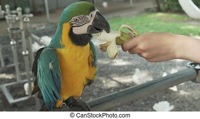 Colorful Red-blue-green Scarlet Macaw parrot (lat. Ara) eats banana stock footage video