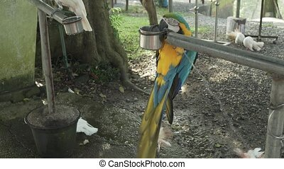 Colorful Red-blue-green Scarlet Macaw parrot (lat. Ara) on trough