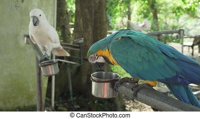 Colorful Red-blue-green Scarlet Macaw parrot (lat. Ara) eats...