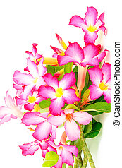 Impala Lily - Colorful red flower, blossom of Desert Rose-...