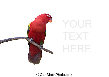 colorful red parrot isolated in white