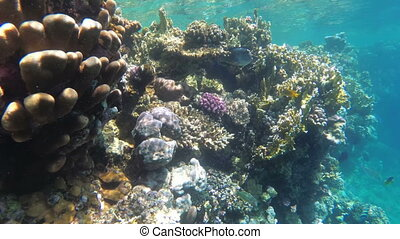 Colorful Red Sea Fishes Swimming near Coral Reef. Egypt....