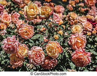 Colorful roses in a rose garden