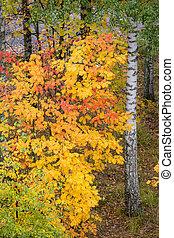Colorful rowan foliage at park