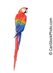 Scarlet Macaw - Colorful Scarlet Macaw aviary, back profile,...