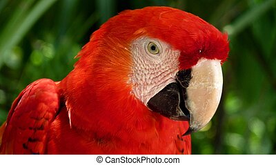 Colorful scarlet macaw perched on a branch, Mexico