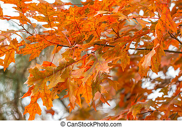 Colorful Scarlet Oak leaves in fall - Close up of orange and...