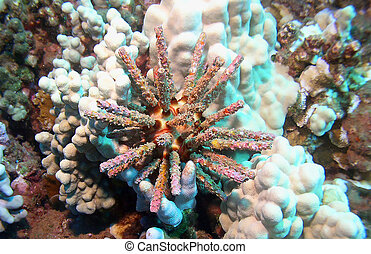 Colorful Sea Urchin on a Reef in Maui Hawaii