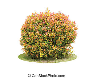Colorful shrub of Pigeon Berry tree isolated over white...