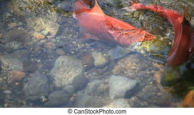 Colorful Spawning Salmon swimming in river