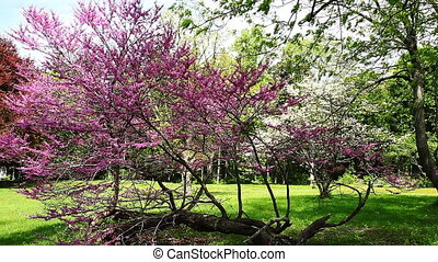 Colorful spring apple blossoms sway