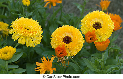 colorful spring flower garden bright golden yellow calendula marigolds and green foliage