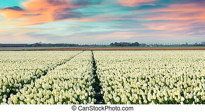 Colorful spring morning on the tulip farm near Espel village