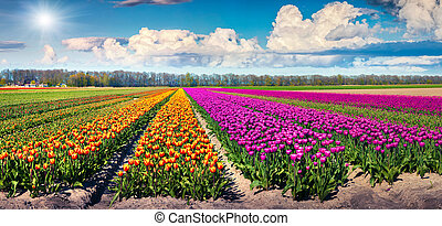 Colorful spring panorama of tulip farm near the Rutten town. Beautiful outdoor scenery in Netherlands, Europe.