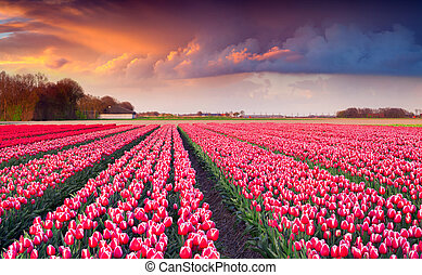 Colorful spring sunrise on the tulip farm near the Creil town