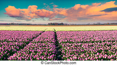 Colorful spring sunrise on the tulip farm near Espel village