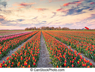 Colorful spring sunrise on the tulip farm near the Espel village