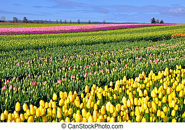 Colorful spring tulip fields
