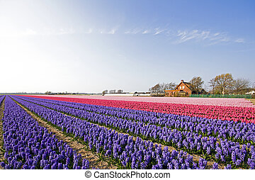 Colorful spring tulip fields in the Netherlands