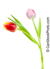 colorful spring tulips isolated on a white background