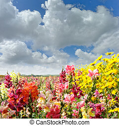 Colorful summer field with snapdragon and yellow daisy flowers