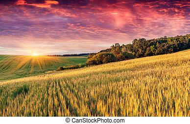 Colorful summer landscape with field of wheat and dramatic sky.