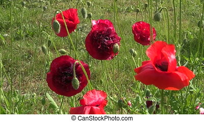 colorful summer poppy flowers