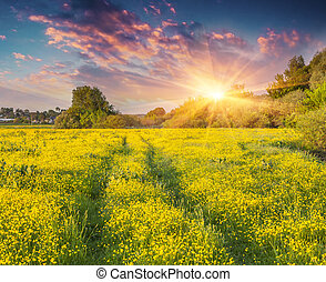 Colorful summer sunrise on the meadow of yellow flowers.