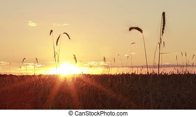 Colorful sunset over golden wheat field in summer