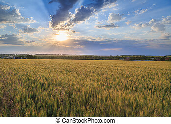 Colorful sunset over wheat field