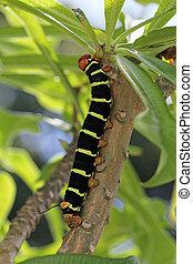 Colorful Tetrio Sphinx Caterpillar