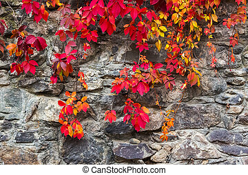 colorful texture of ivy plant on the stone wall. red and...