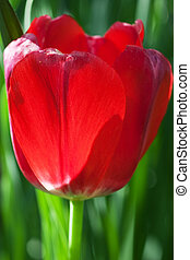 Colorful tulip closeup