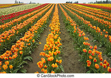 A field of multi-colored tulips (liliaceae tulipa) on a farm with rows stretching to the horizon. The field is at its peak during the Skagit Valley tulip festival.