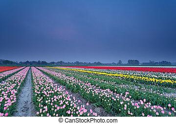 colorful tulip field in dusk