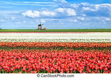 colorful tulip fields in Alkmaar