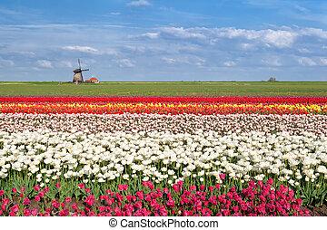 colorful tulip fields in Alkmaar, North Holland