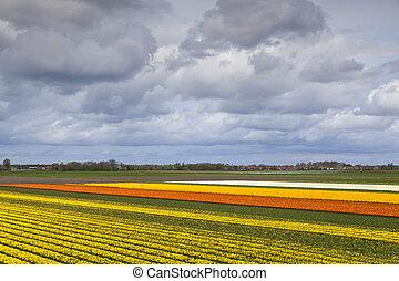 tulip fields in North Netherlands