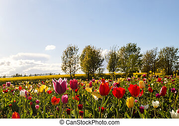 colorful tulip flowers on the Field