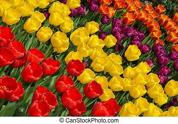 Colorful tulip garden
