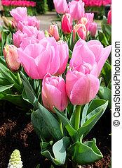 Colorful tulip garden in nature park