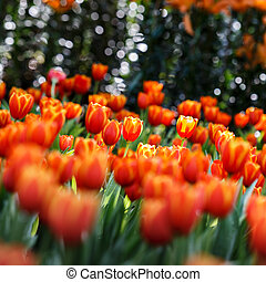colorful tulip on nature background