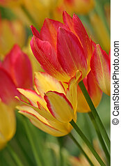 colorful tulips (2)