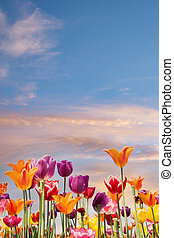 Colorful tulips against a blue and orange sunset sky